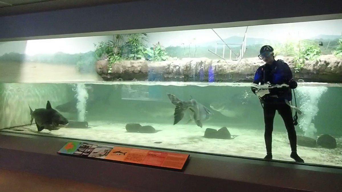 \\ おさかな動画 //久しぶりのメコンオオナマズ~~!!スタッフが掃除中でした(^^)/メコンオオナマズの大きさが分かるかと思います!!#長崎ペンギン水族館 #メコンオオナマズ #長崎 #ペンギン #水族館 #九州 #観光