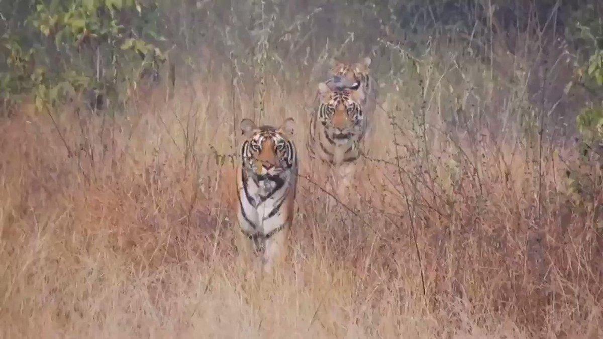 Die freundlichen Tiger aus der Nachbarschaft, die Sie auf Ihrer #IndienReise treffen werden #Indien #IndiaGermany