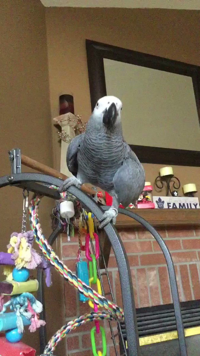 The elevator is always faster. 🤣🐦 #AfricanGrey #parrot #funny #animals #pets @OtisElevatorCo 😂🤣