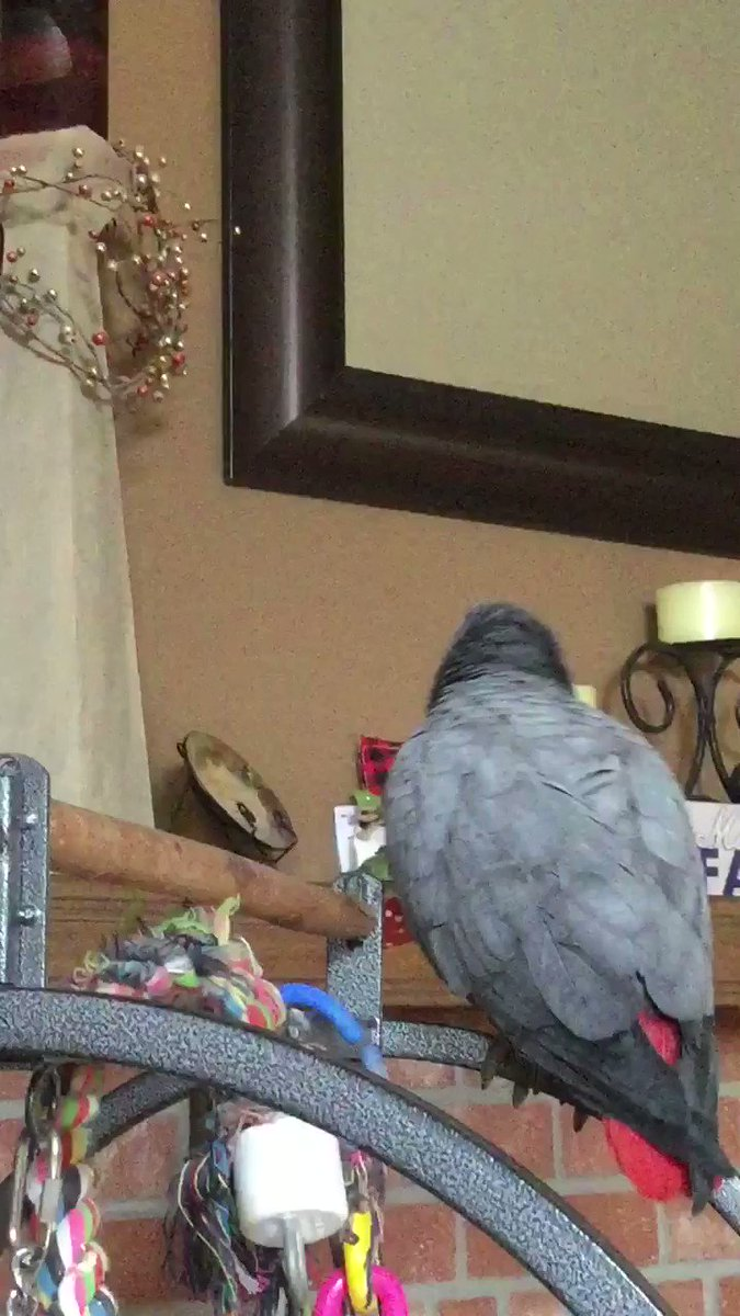 Don't mind my cough. I might be faking it for attention. 😂😂🐦 #AfricanGrey #parrot #funny #animals