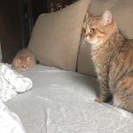 かまって攻撃が可愛すぎるwどうしても遊んで欲しい子猫!