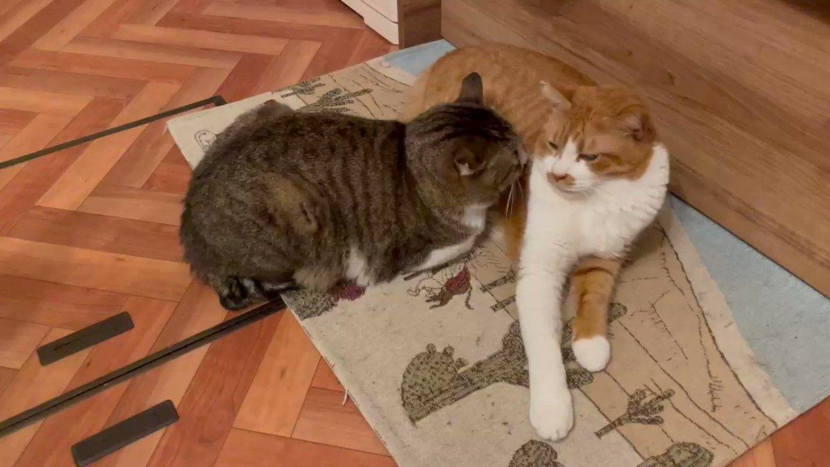こちら、猫に猫吸いされる猫の動画となっております。ご査収下さい。吸い過ぎて鼻笛がぷぉ〜ぷぉ〜鳴ってる。どんだけ好きなんや…。