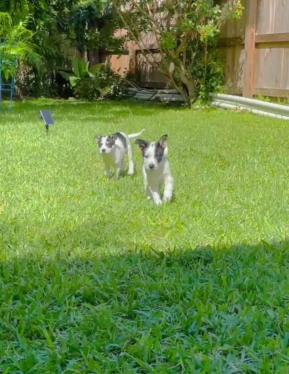 It's Friday so let's have some happiness! The nuggets playing in the side yard this morning. #dogsoftwitter #PuppyTime
