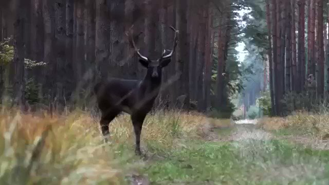Footage of a Black fallow deer recently seen in Baryczy Valley, Poland.
