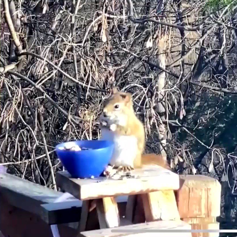 Replying to @i124nk8: Everyone needs to see this squirrel that's off it's tits drunk on fermented pears