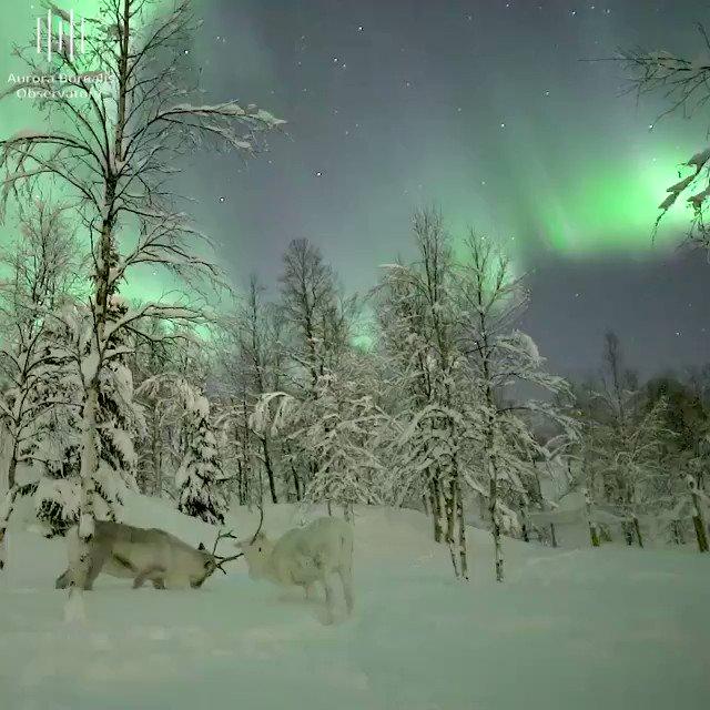 Wonderful Nature - Northern Lights (and raindeers) @NorwayHoliday @HarveyCroze