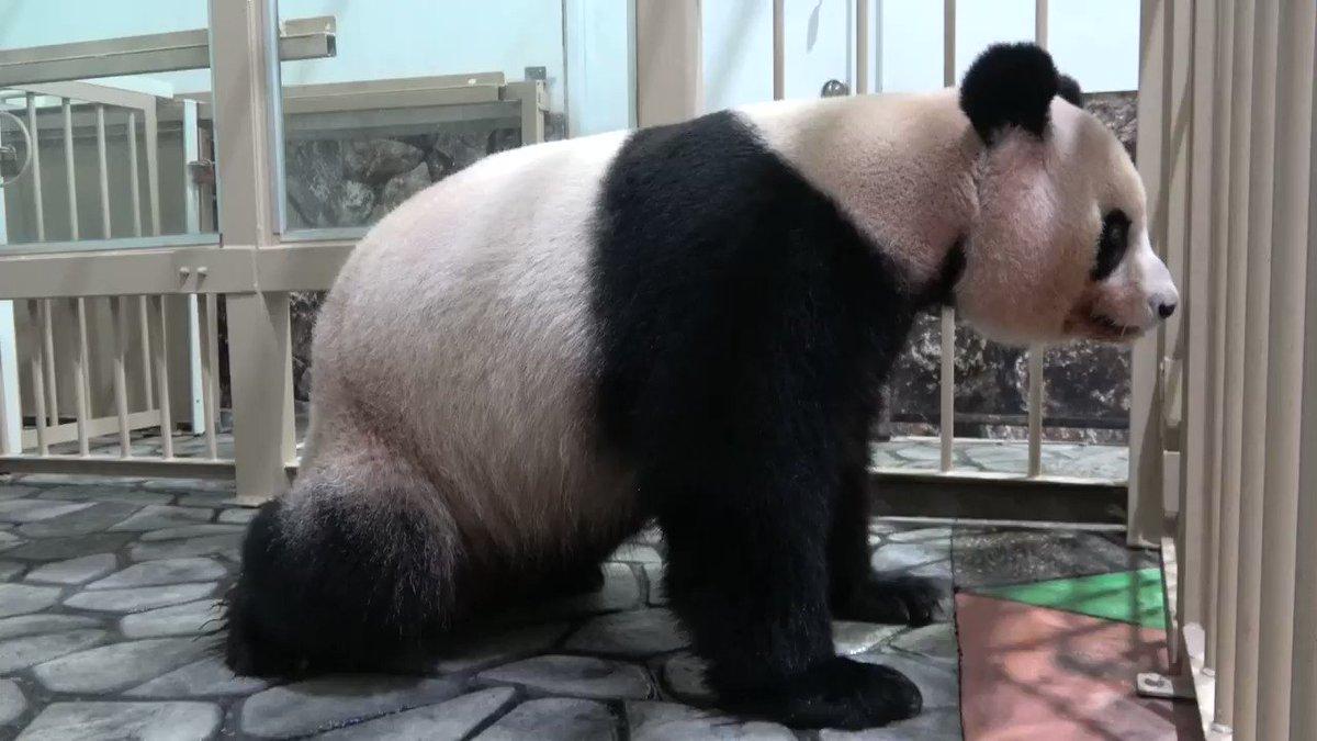本日(11/22いい夫婦の日)誕生したジャイアントパンダの赤ちゃんの誕生シーンです!とっても元気なオスの赤ちゃんです