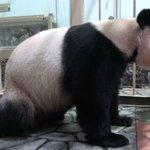 和歌山アドベンチャーワールドでジャイアントパンダの赤ちゃんが誕生!