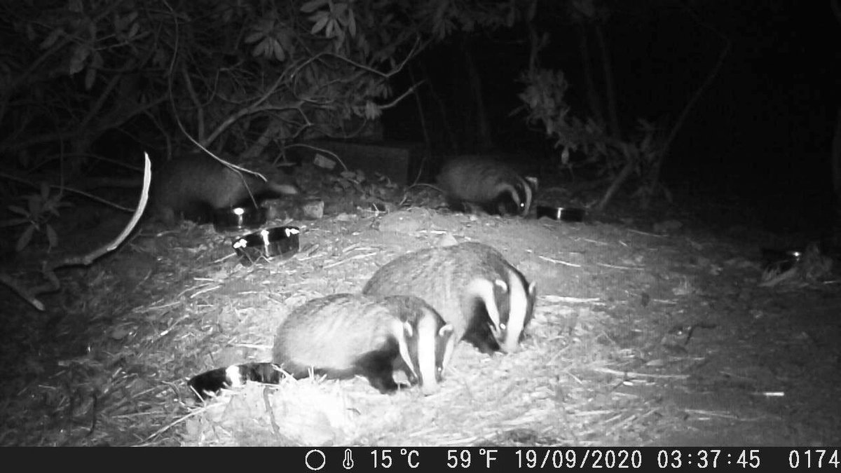 Caught on camera! Our vaccinated badgers looking healthy. ⁦@BadgerTrust ⁦@DerbysWildlife⁩ #stopthecull #Badgers   — sunartfields (@sunartfields) November 22, 2020