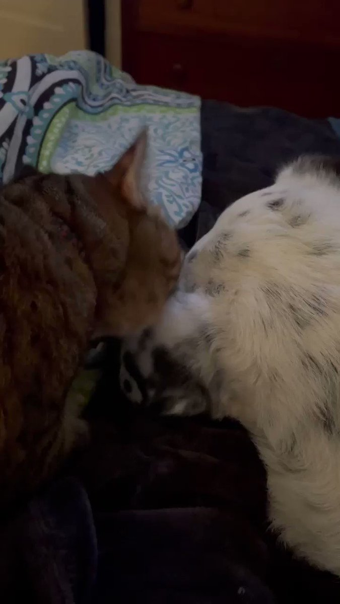 My daughter's #cat is gross! #earwax #catsanddogs #CatsOfTwitter #DogsofTwittter #thisisafirst #gross #bathtime #Clover #CJ #Weirdos #animals #AnimalCrossingNewHorizions #petsunday #PetsFriends #pets #crazyanimals