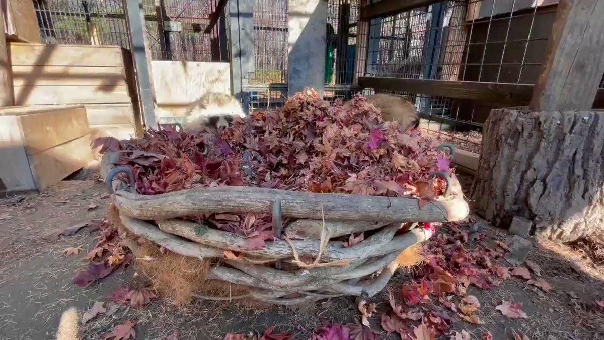 たぬのモフみと共にあらんことをblog()#おびひろ動物園 #エゾタヌキ#obihirozoo   #raccoondog#今日のたぬき  #モユクカムイ