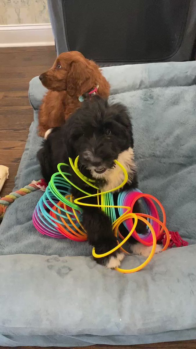 Replying to @lourdesgnavarro: A metaphor for 2020: my puppy and the slinky