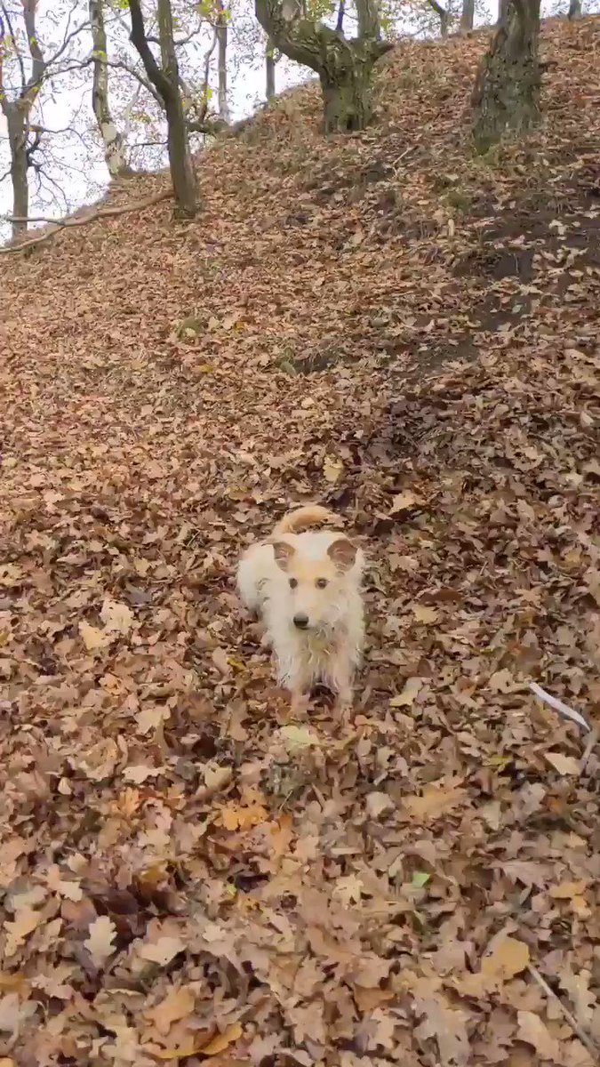 Tuesday walkies..🐾🐶  Crunchy leaf attack!! 🍁🍂 10/10