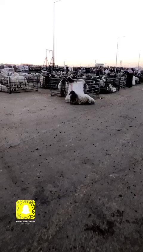 سوق العزيزية للاغنام  الرياض ٢٦ نوفمبر ٢٠٢٠ ، لمتابعة كامل التغطية على حسابتنا #سناب_شات  و #انستقرام
