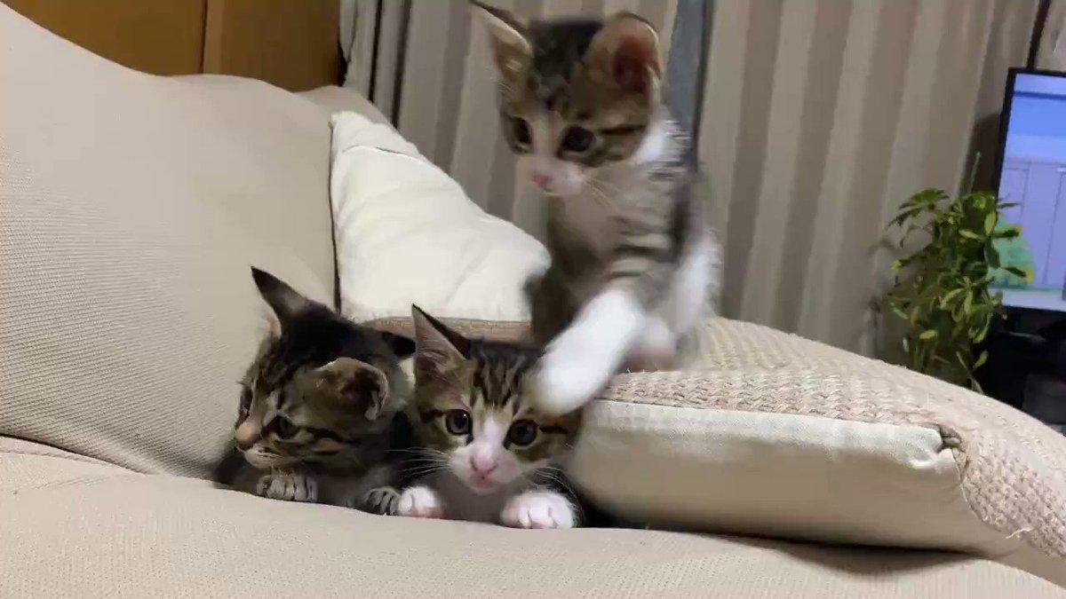 かわええ……ソファの心地よさを知った子猫たち フカフカの感触に目を輝かせる姿が無邪気でかわいい