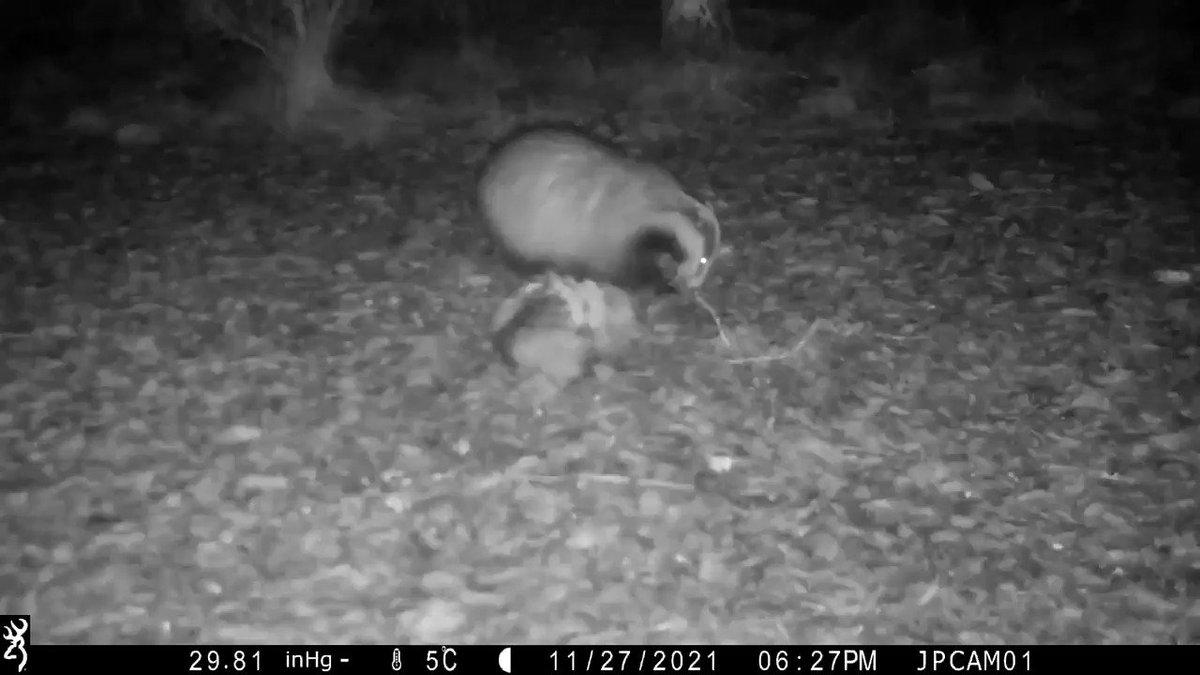 Badger cam 😎👍 #Badgers @Simonsmotorhome a little bit of what I'm up to 😉.... #wildlife #NaturePhotography