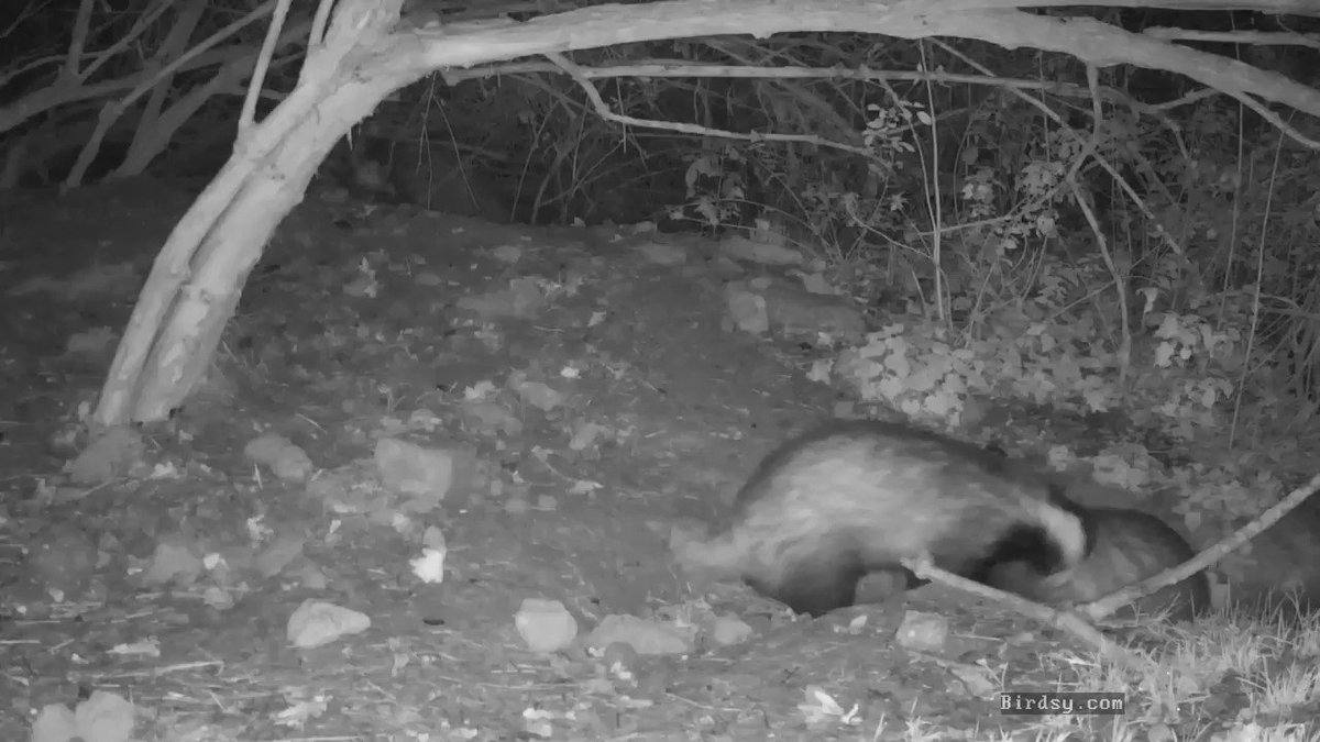 three #badgers  just emerging this evening, but what is calling in the background? @ChrisGPackham @BBCSpringwatch @katemacrae @BirdsyTv @BadgerTrust @StowAero @andfixstuff