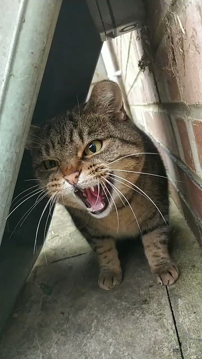 That awkward moment when you are been nice by feeding a stray cat and the cat is hissing back ....   #CatsOfTwitter #CatsThatRuleTheWorld #catboyrevolution #cats