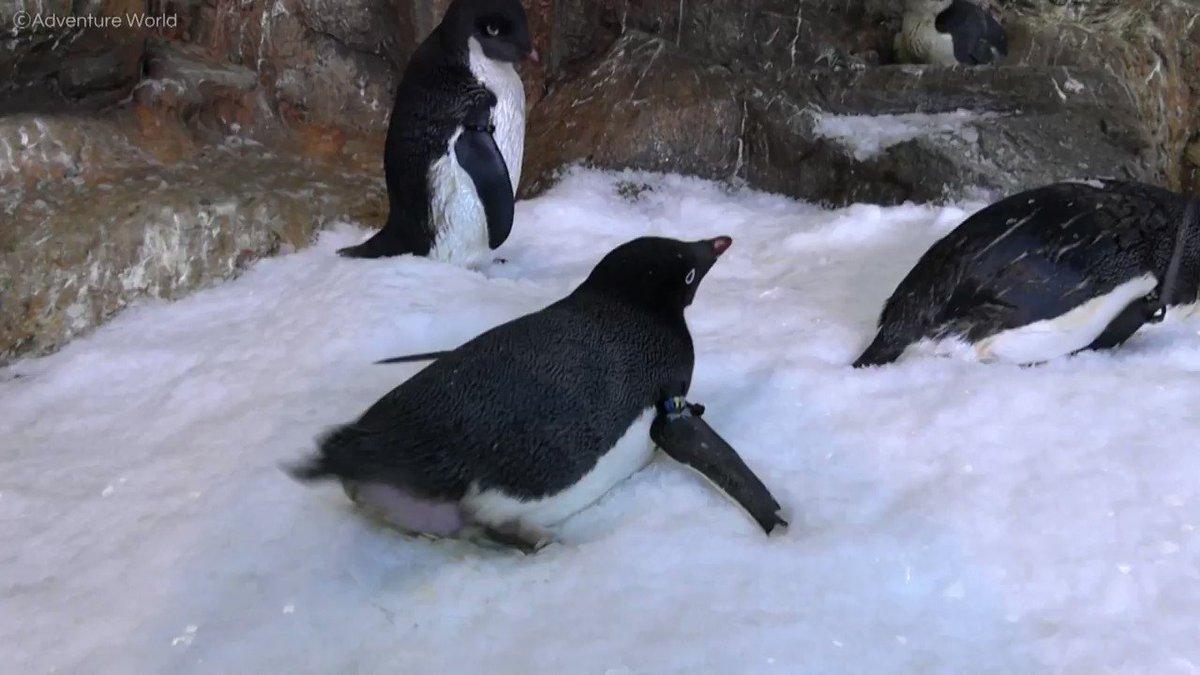 本日11月(いい)30日(末日)は #いいおしりの日 アデリーペンギンのキュートすぎるおしりふりふりをお届け♪