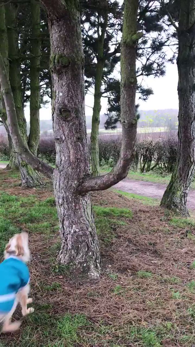 Monday walkies! Lots of fun jumping through this tree! Found a good stick, zoomies with a miniature poodle 🐩 Bit muddy and wet 🐾 but still had fun 9/10 🐶 (Funny blooper to share with you later...🤭)