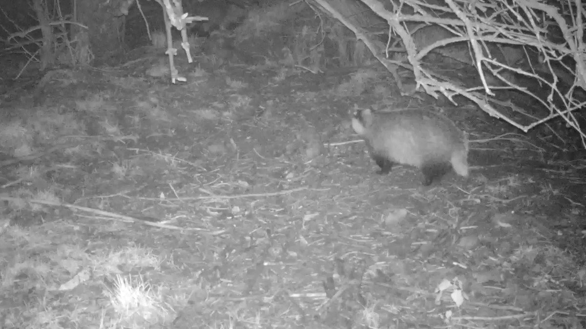 2 #badgers with their #winter (fat) coat on mooching and snuffling round #sett! Love it. Peanuts & #apples left at sett as usual.