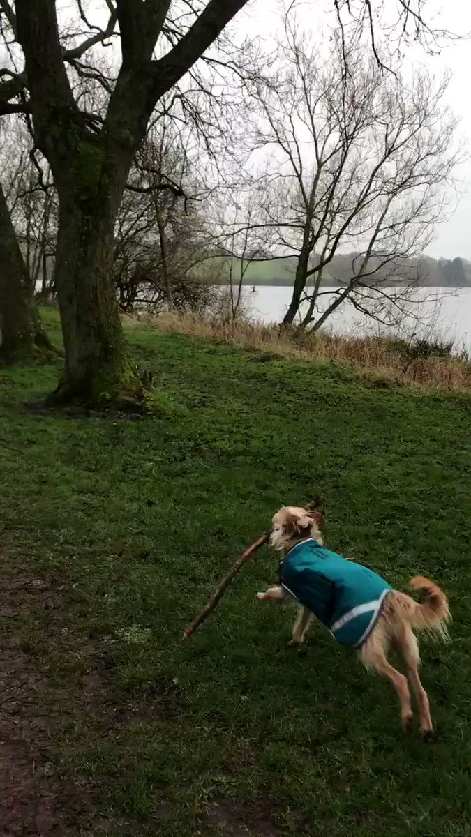Tuesday walkies! Found a good stick, 3 poos, saw some swans - they hissed at me! Rude! 🐾 🐶9/10