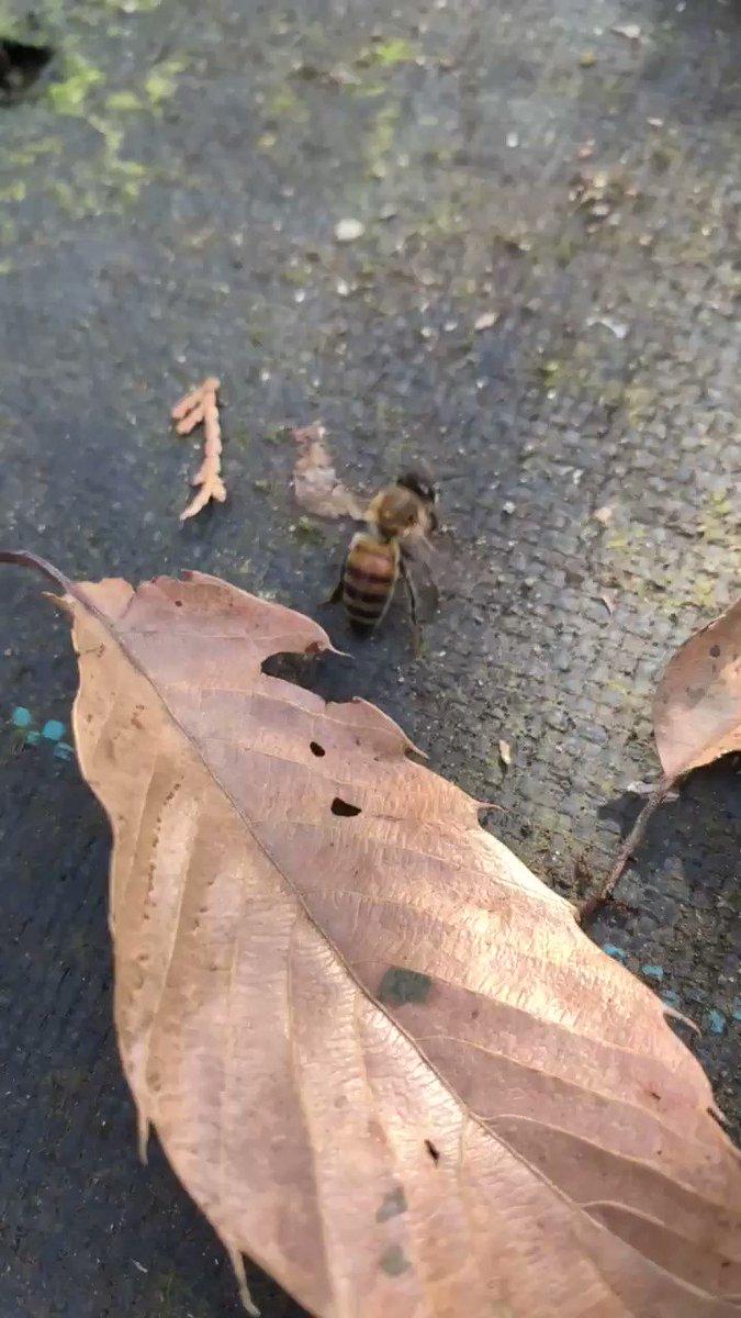 外勤の役割を全うしたミツバチ彼女は死期を悟り、コロニーに病気などを媒介しないように遠くに行った後に静かに息を引き取りました。彼女は後ろ足が動かないのにも関わらず必死に最後までコロニーに献身し続けた。ご苦労様でした。