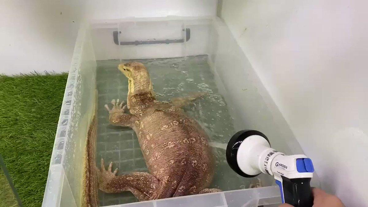 トカゲ「入れたての水でするうんこが1番気持ちええんだ」