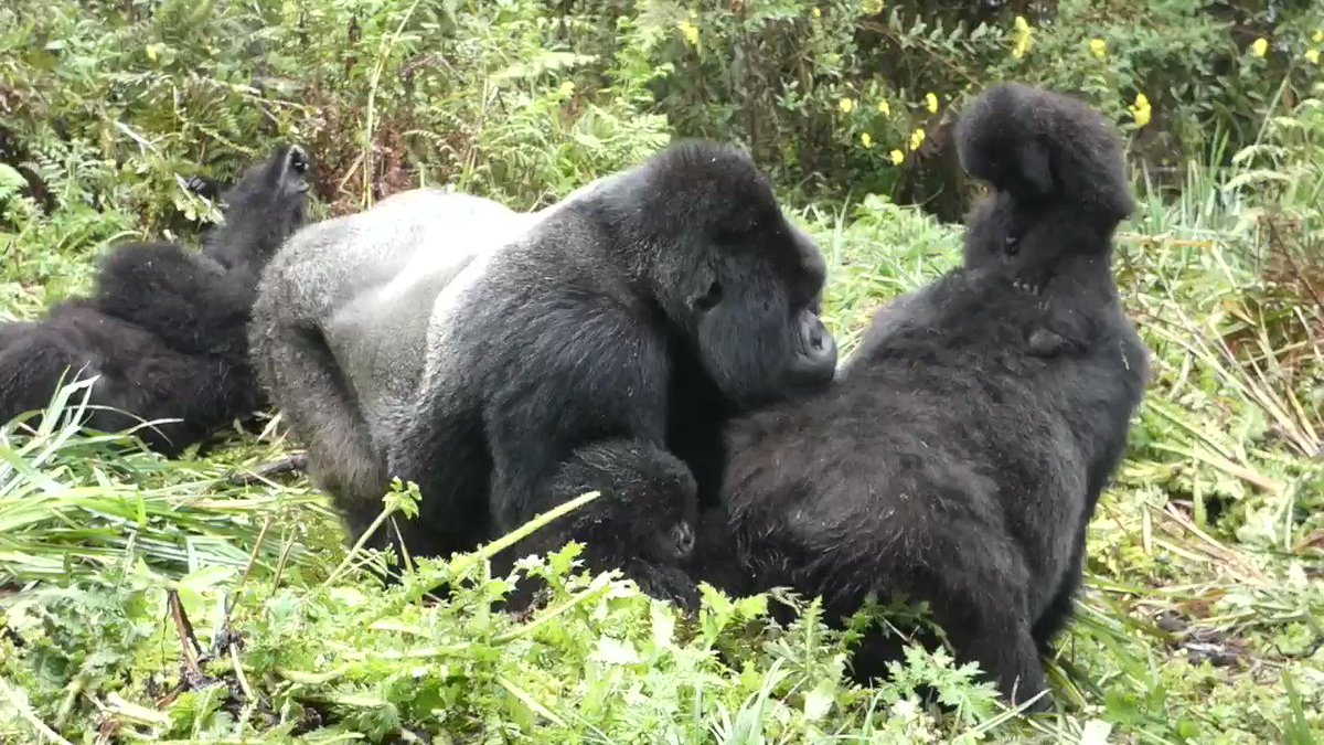 Gorilla Fact: Infants begin learning skills at a very early age. One of these skills is chest beating which gorillas use as a form of communication, especially when they perceive a threat and need to assert their dominance. Check out Duhuze practicing his skills!