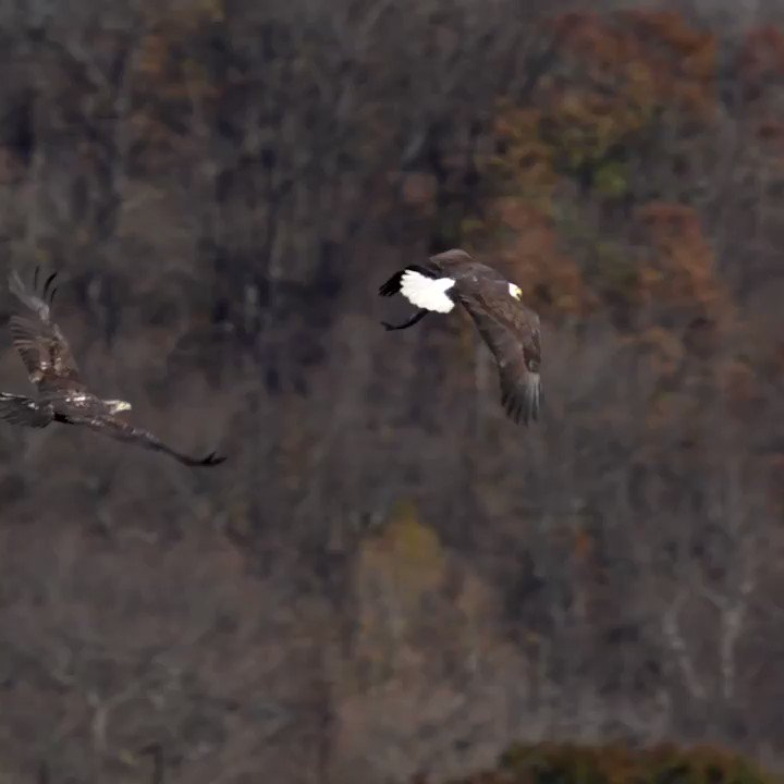 Nice midair #steal or #catch for the #win. Go #eagles #birds #birbs #birdphotography #birdwatching #conowingo #maryland