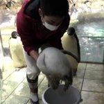「エンペラーペンギンの赤ちゃん」体重測定!見守る保護者