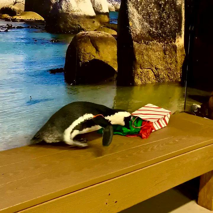 POV: Cliff is us during the Holidays! 🐧🎁 #FloridaAquarium #Penguin #HappyHolidays
