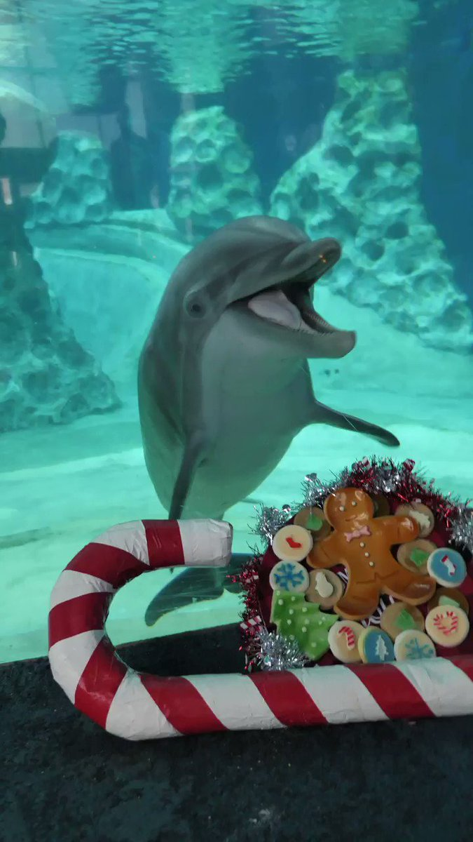With candy canes and silver lanes aglow, we can hardly contain our excitement! 🐬🎄😋