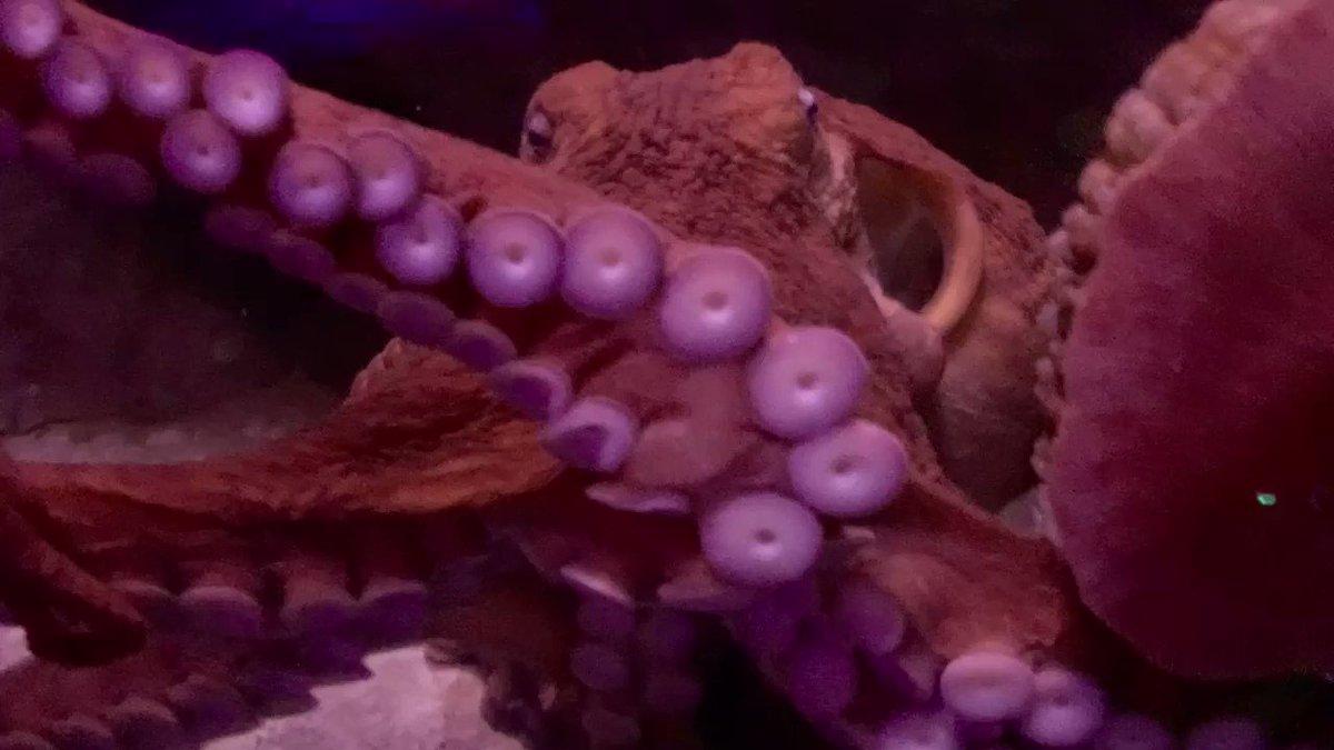 8 arms till Christmas! 🐙🎄#FloridaAquarium #Octopus #Christmas