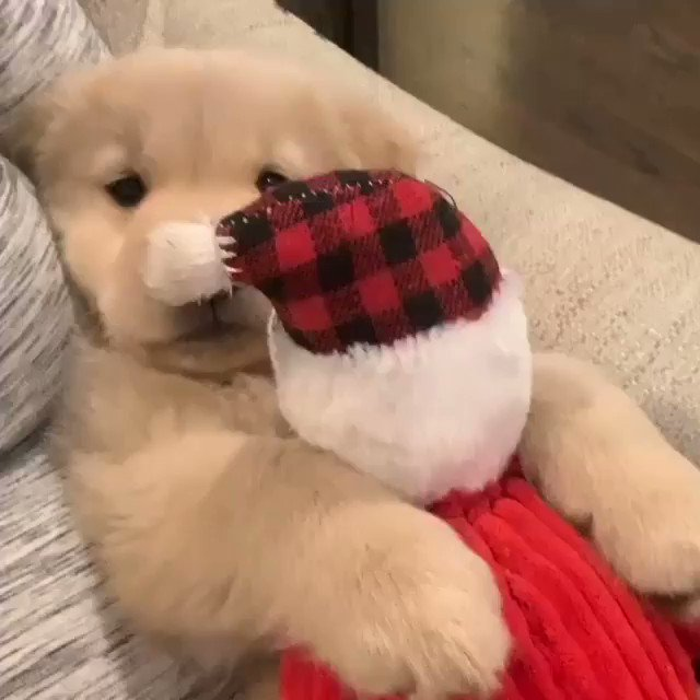 Good Evening from the Golden Retriever Channel. This little man is cuddled pup with a holiday stuffie.  In the year Santa is working remotely- be kind- be a friend. Love your neighbors-- remotely. We all need it   Snoozles💤😴😴💤  (Goldengramgary iG) #cutenessoverload  #Dogs
