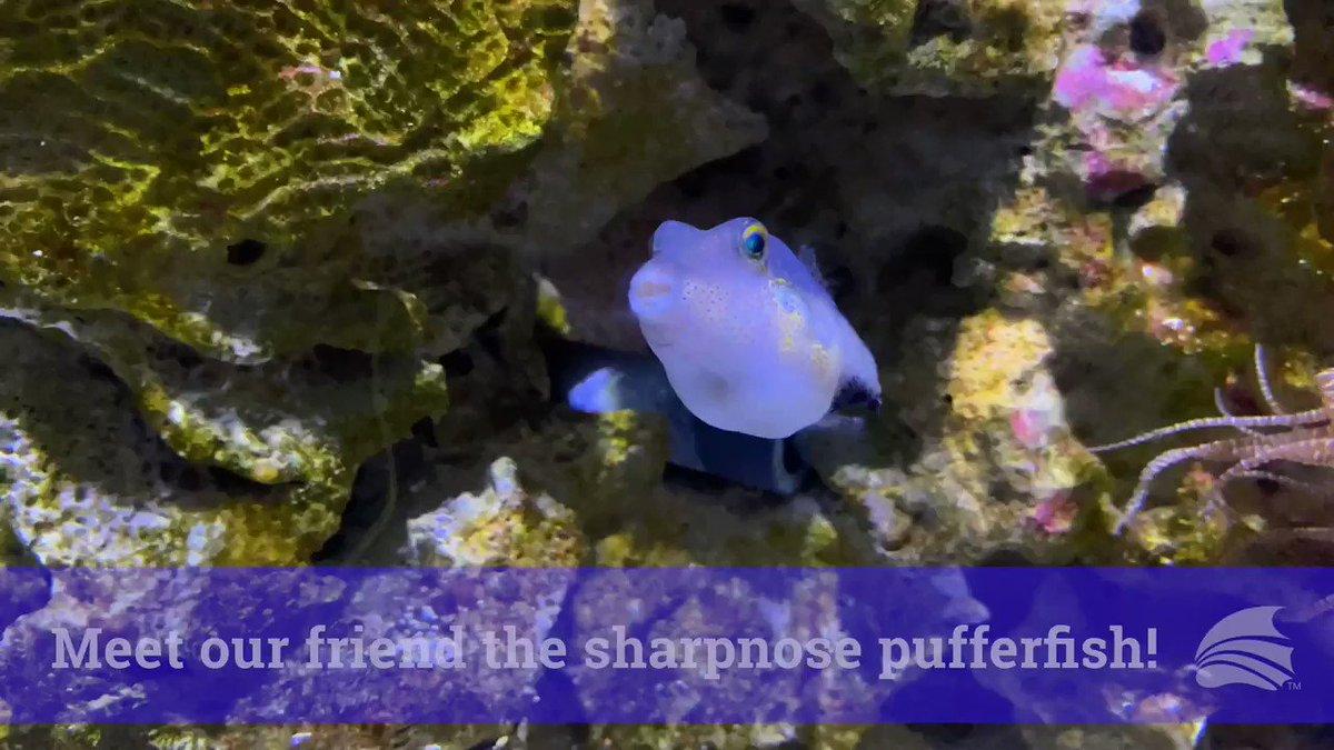 Fun Facts: sharpnose pufferfish edition!❤️#FloridaAquarium #ProtectAndRestore #SharpnosePuffer
