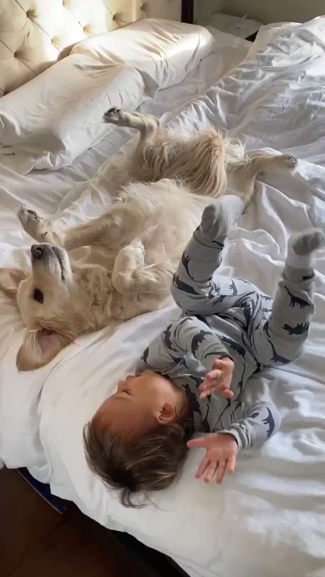 Good Morning from the Golden Retriever Channel. What a cute pair and already awake. A little synchronized leg kicking is the 1st this today. The cool kids do😎  It's #TongueOutTuesday Any dog may enter by posting below with name.   (Harlow_thegolden IG) #dogs #cutenessoverload