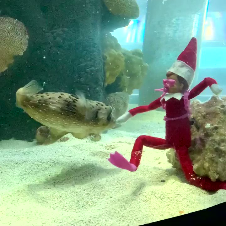 The elf on the shelf took a dive and made a pufferfish friend today! 🐡😍 #FloridaAquarium #TheElfOnTheShelf #ProtectAndRestore