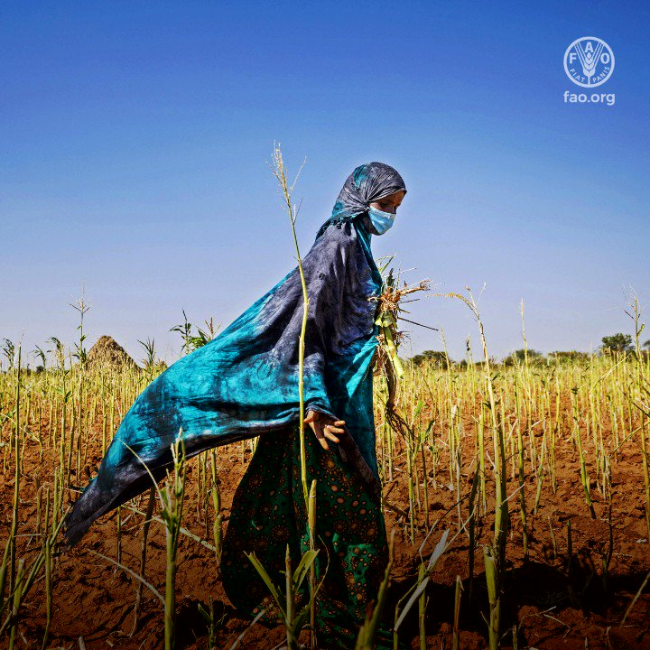 Nearly 700 million people do not get enough calories to lead full, productive lives.  🎙️Check out our 3rd & last #FAO75 podcast episode as we review the latest thinking on how to finally achieve #foodsecurity for all 👉