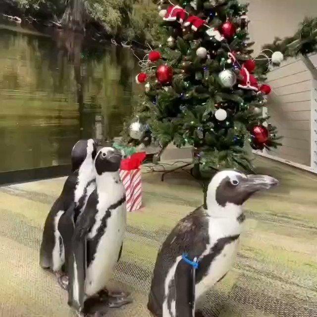 Rockin' into Christmas Eve like... Unwrap more ways to celebrate Tannenbaum time at  🎄 #FloridaAquarium #Penguin #ChristmasTrees #FloridaChristmas #Tampa #waddle #12DaysOfChristmas  🎥:@floridaaquarium