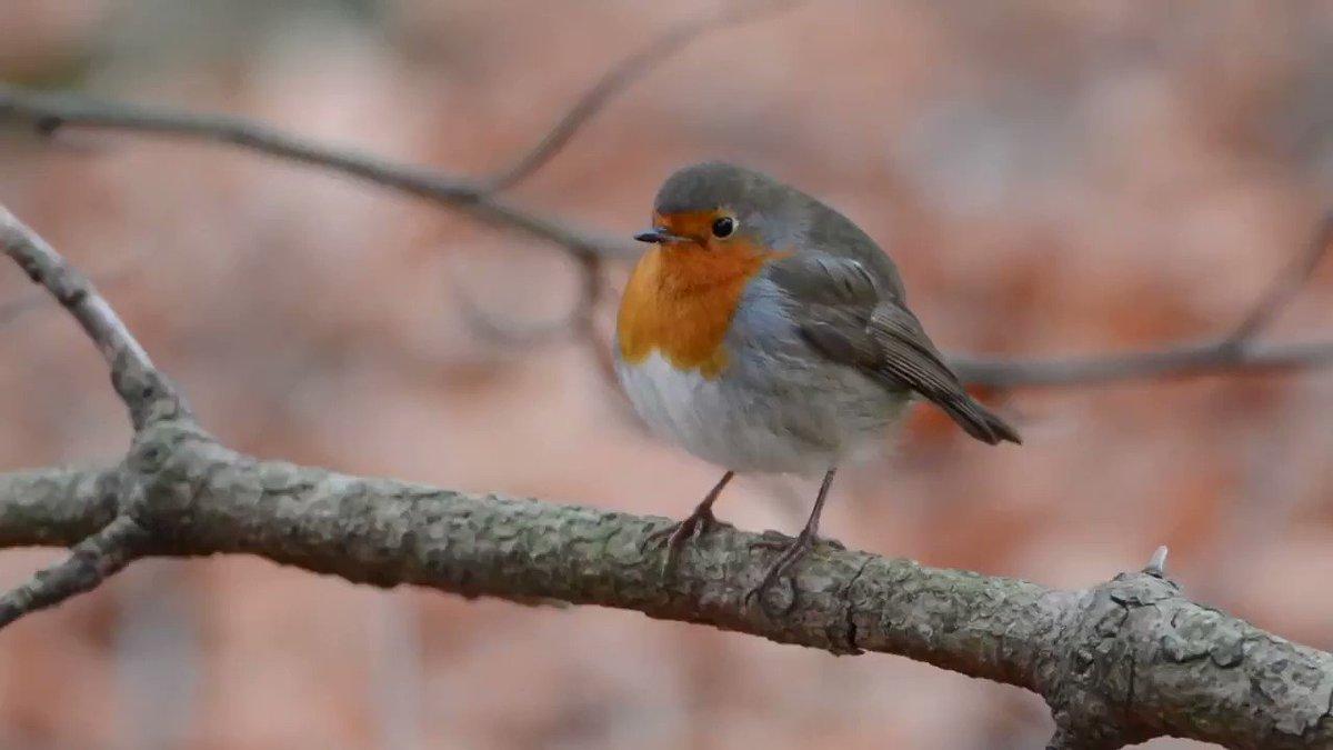 A robin's heart beats around 1,000 times a minute! #NatureScot #MakeSpaceforNature #WildlifeMoment