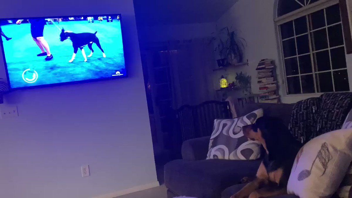 Watching her favorite program. 💕🐾 #nationaldogshow #dogsoftwitter #puppylove