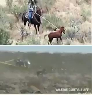 #WildHorses #Burros CHASED DOWN HIT w Helicopters @BLMWHB👎Countless Mustangs🐎sent 2 #Slaughter Countless #Foals roped/killed Separated from Moms Countless Moms & Dads SHOT During barbaric roundups WildHorses victims of Rampant ABUSE by👎@BLMNational #StopTheRoundups #ListenToUs