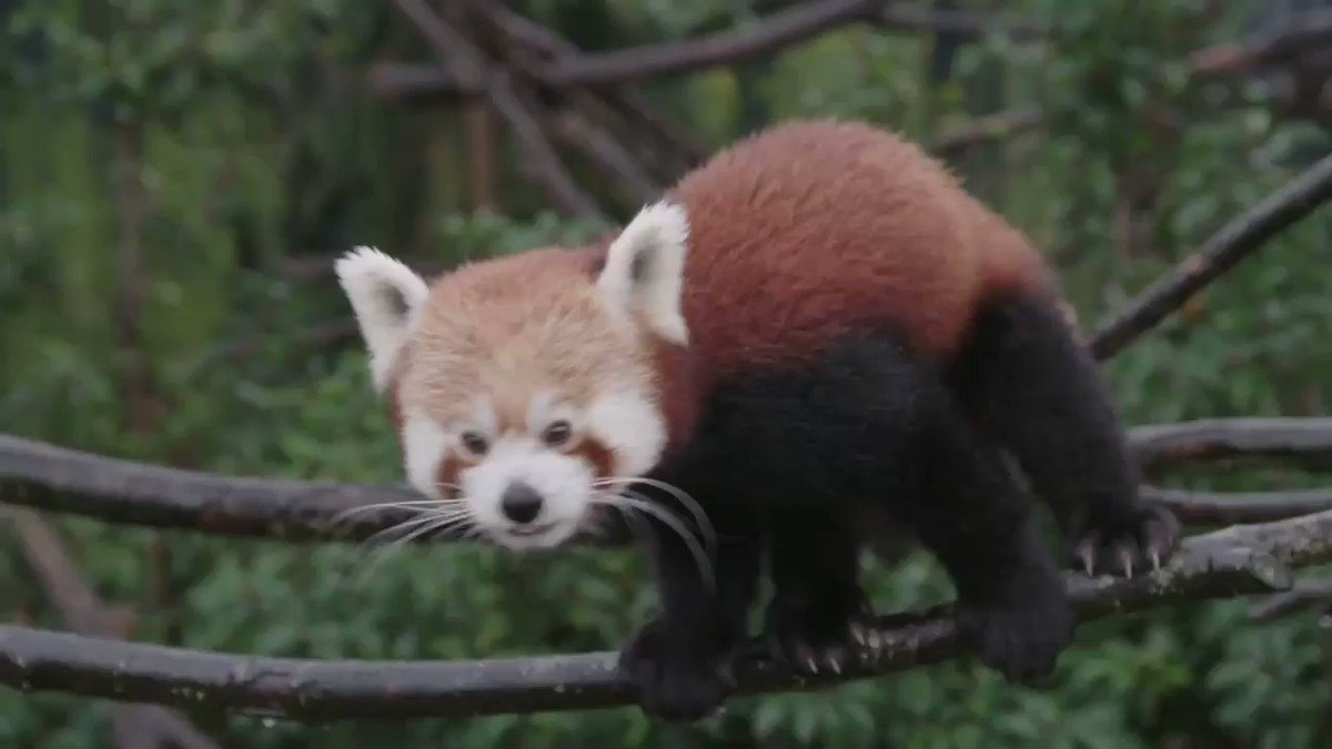 Want to see more of this red panda? An animal who is nearly as cute as me? Watch my pals @Linds_bluepeter & @Adam_byt meet him @chesterzoo here:  I want one!