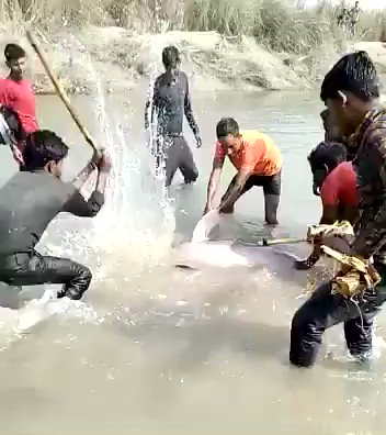Horrifying, speechless watching this Dec 31 video from UP's Pratapgarh. Men laughing while battering a river dolphin. If that's a Ganges Dolphin, it's a critically endangered species and also India's national aquatic animal. The murderers have been arrested by @pratapgarhpol.