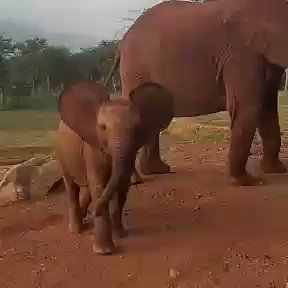 Make your Monday extra special by getting to know Mwitu. Shes 1 years old and growing up in Tsavo, a protected area. Shes part of a new generation of #elephants being born to orphans we rescued, raised and returned to the wild: sheldrickwildlifetrust.org/orphans/calves