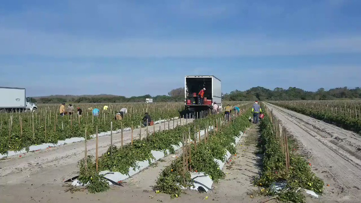 Who says farming isn't fun, harvesting tomatoes in SW Florida