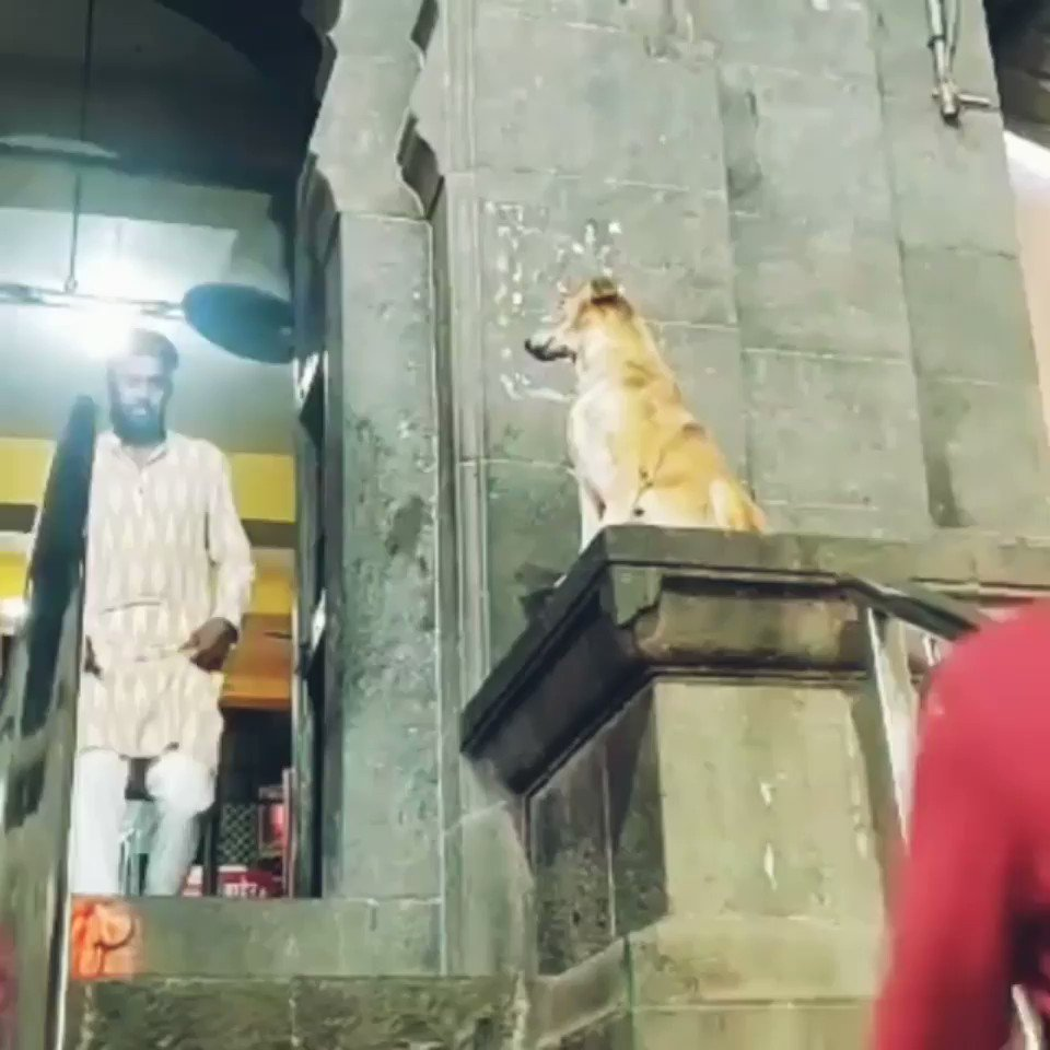 ! The stray dog is blessing the devotees in Siddhivinayak Mandir in Ahmadnagar, Maharashtra 🇮🇳. What a beautiful soul!                       #IncredibleIndia #tuesdayvibe
