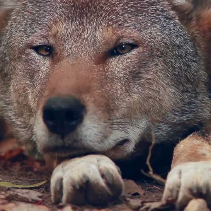 With only 8 red wolves known to remain in the wild, he could be the last one you see.   Join us in our mission to #SaveRedWolves