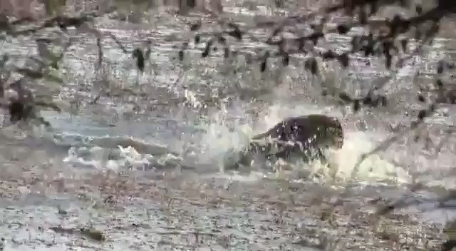 #ViralVideo : The daughters of the famous Tigress T-84 (also known as Arrowhead), Tigress Ridhi and Tigress Sidhi, have once again been found fighting among themselves over territory. #ranthambore